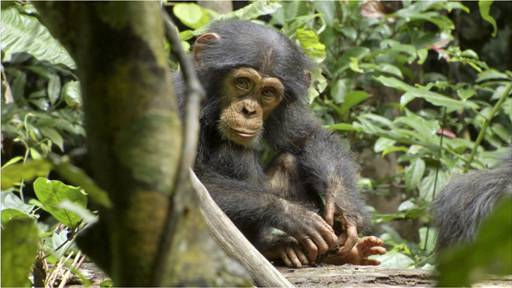 Disneynature's CHIMPANZEE Come take a peak! {Opens April 20th!}