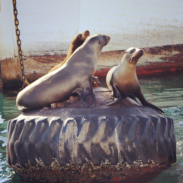 Such beautiful animals. #nature #animals #sealions #marineanimals #Travel #monterey #beach #familytravel