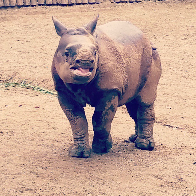 I could watch this little greater one-horned rhino calf for hours. Such a spunky personality. Can't wait to go back to @sdsafaripark and see him again. ♡♡♡ #SanDiego #animals #animal #photooftheday #cute #instagood #animales #cute #love #nature #animallovers #travel #traveling #vacation #visiting #instatravel #instago #instagood #trip #holiday #fun #travelling #tourism #instatraveling #mytravelgram #travelgram #travelingram #igtravel