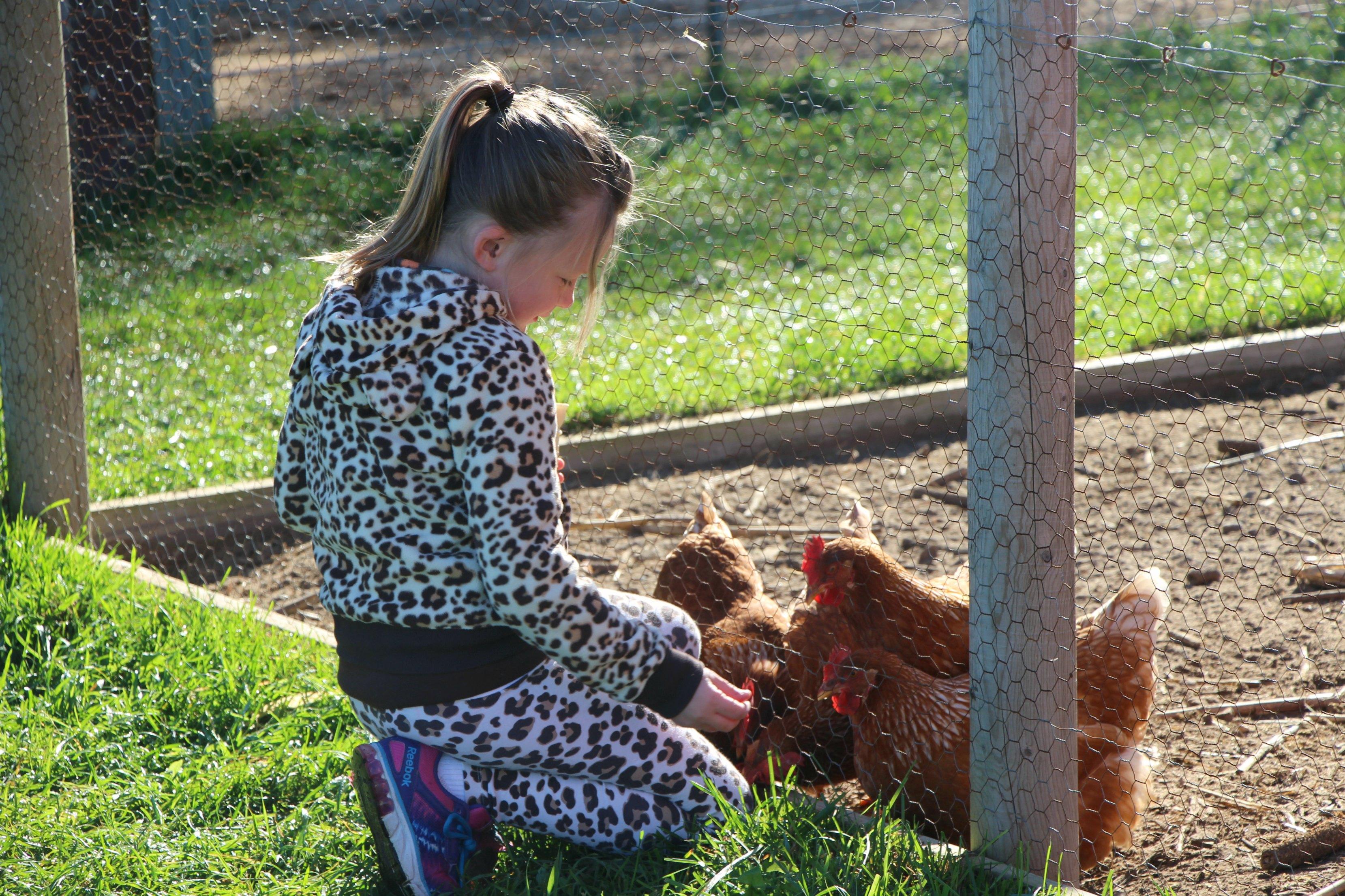 feeding-chickens