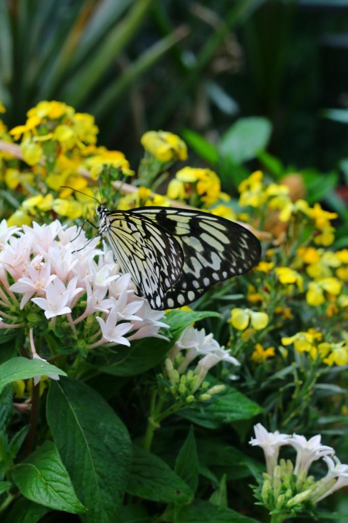 butterfliesinsandiego