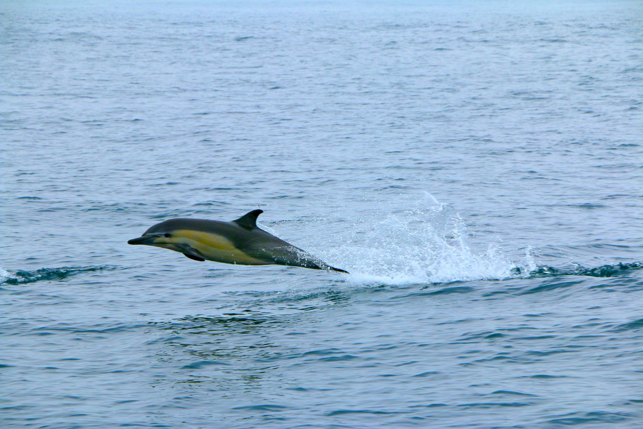 dolphins off dana point