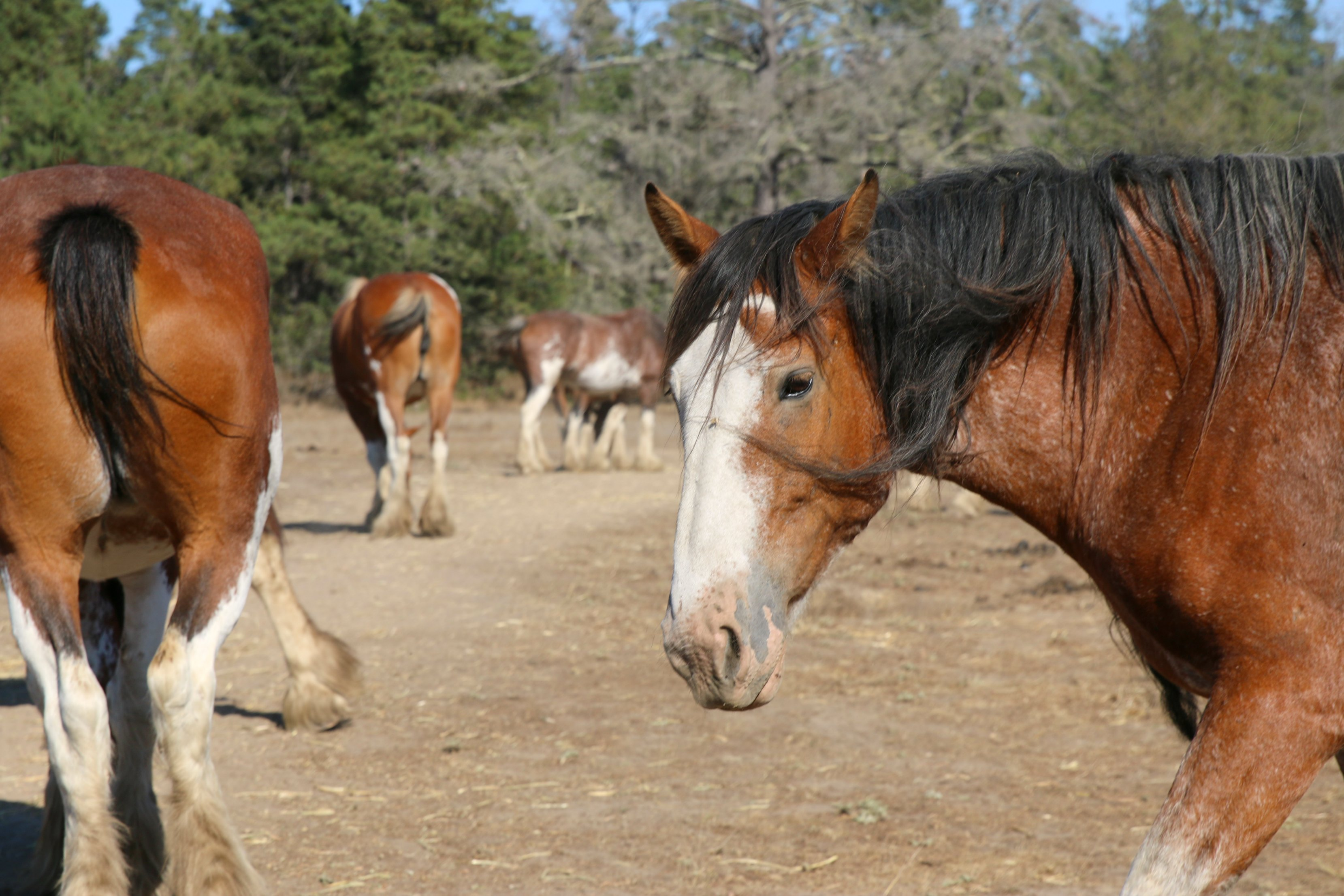 clydesdale-ranch