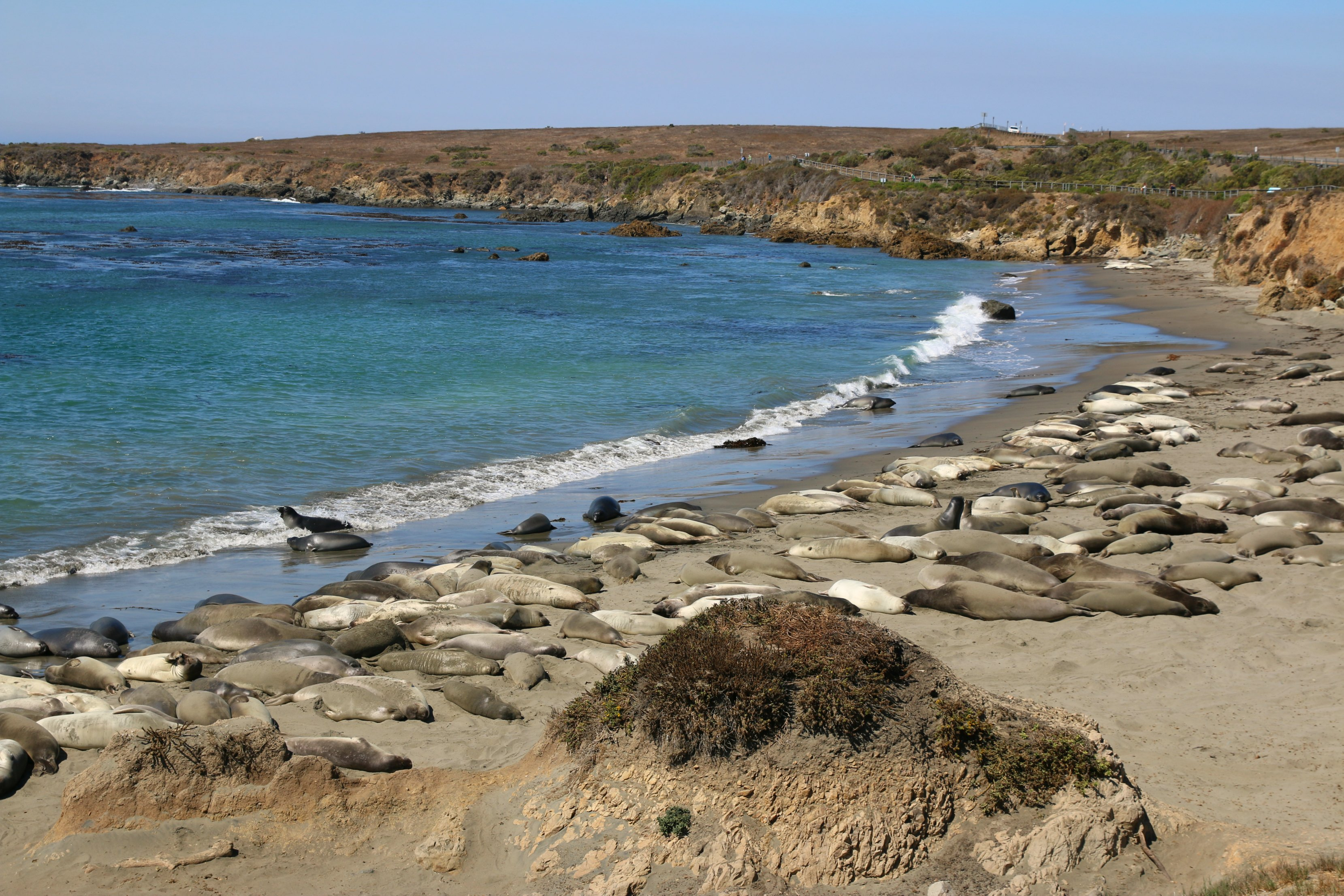 where-to-see-elephant-seals-in-san-simeom