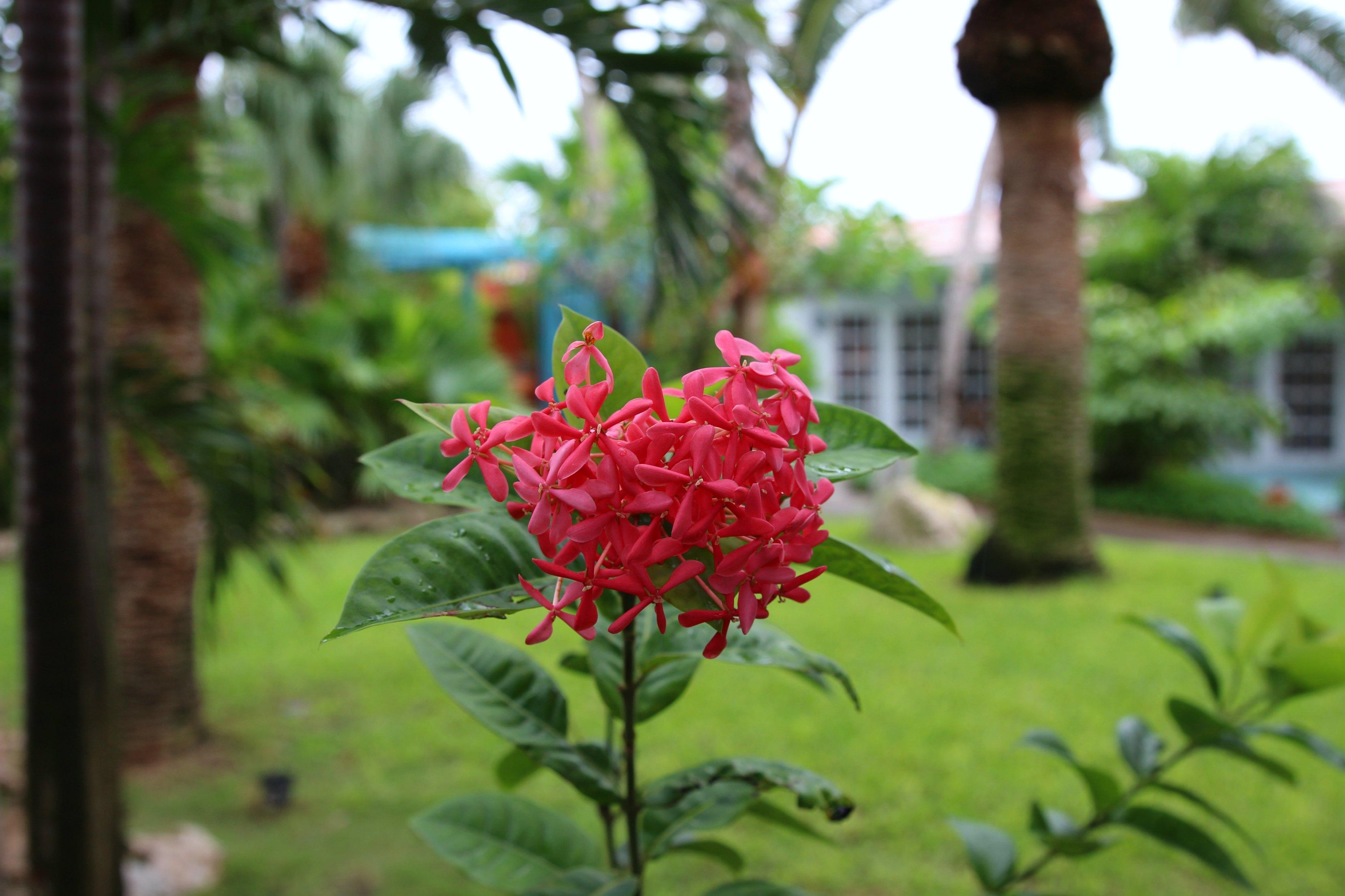 aruba-flowers