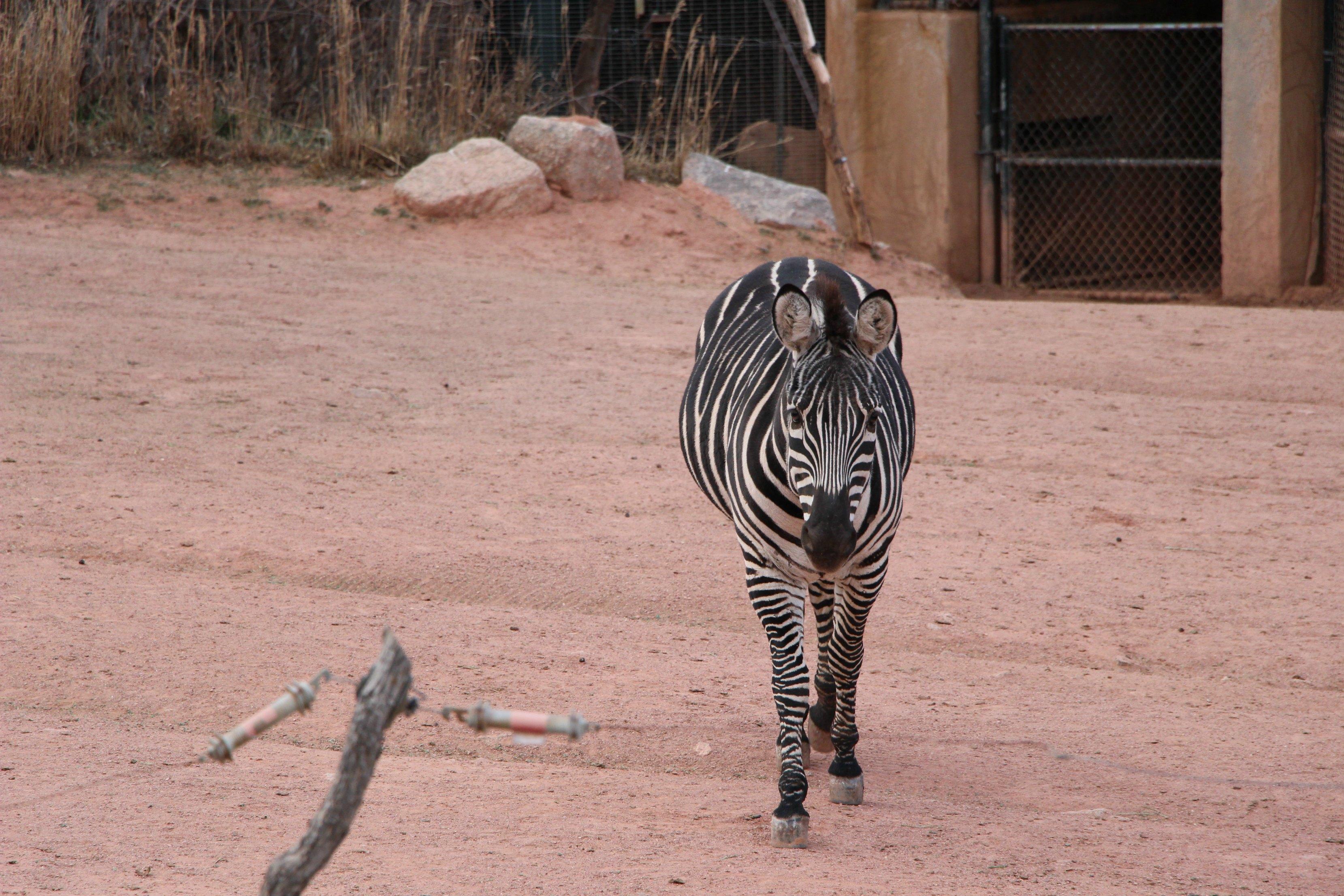 cheyenne-mountain-zoo-zebra