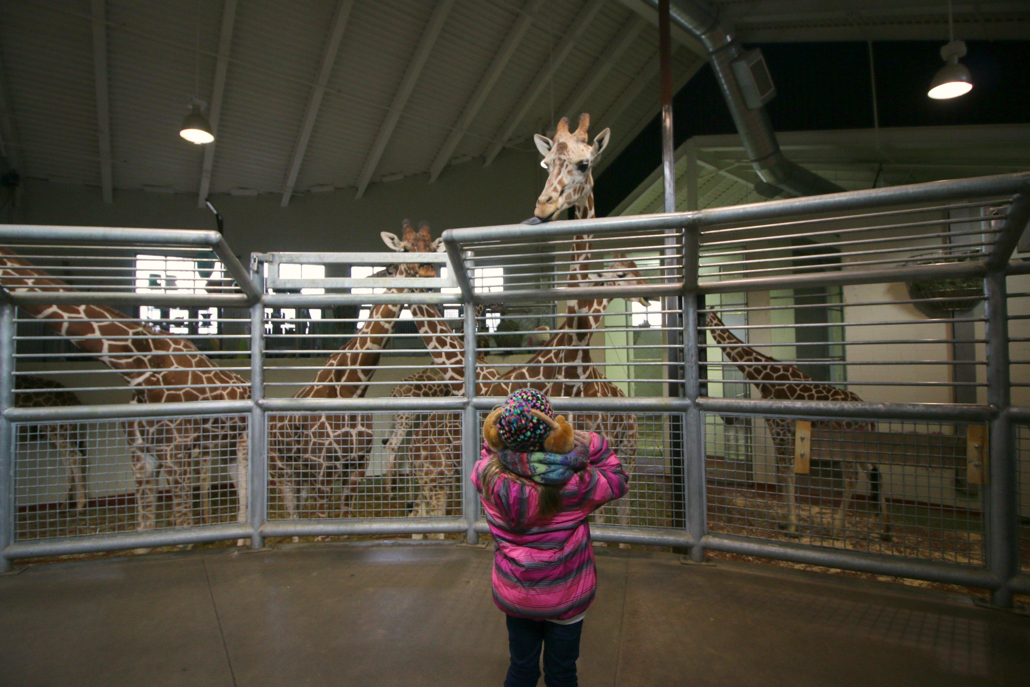 colorado-giraffes