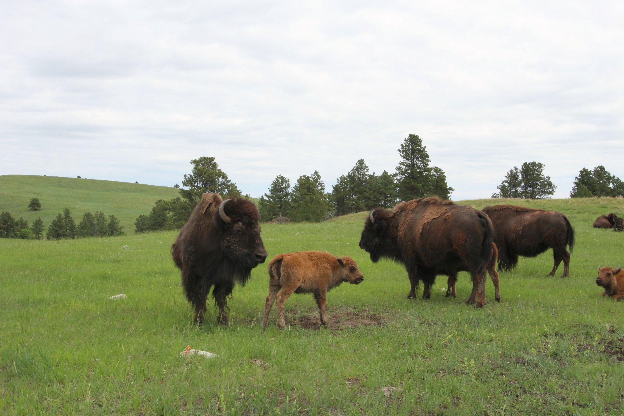 baby buffalo at Custer State Park