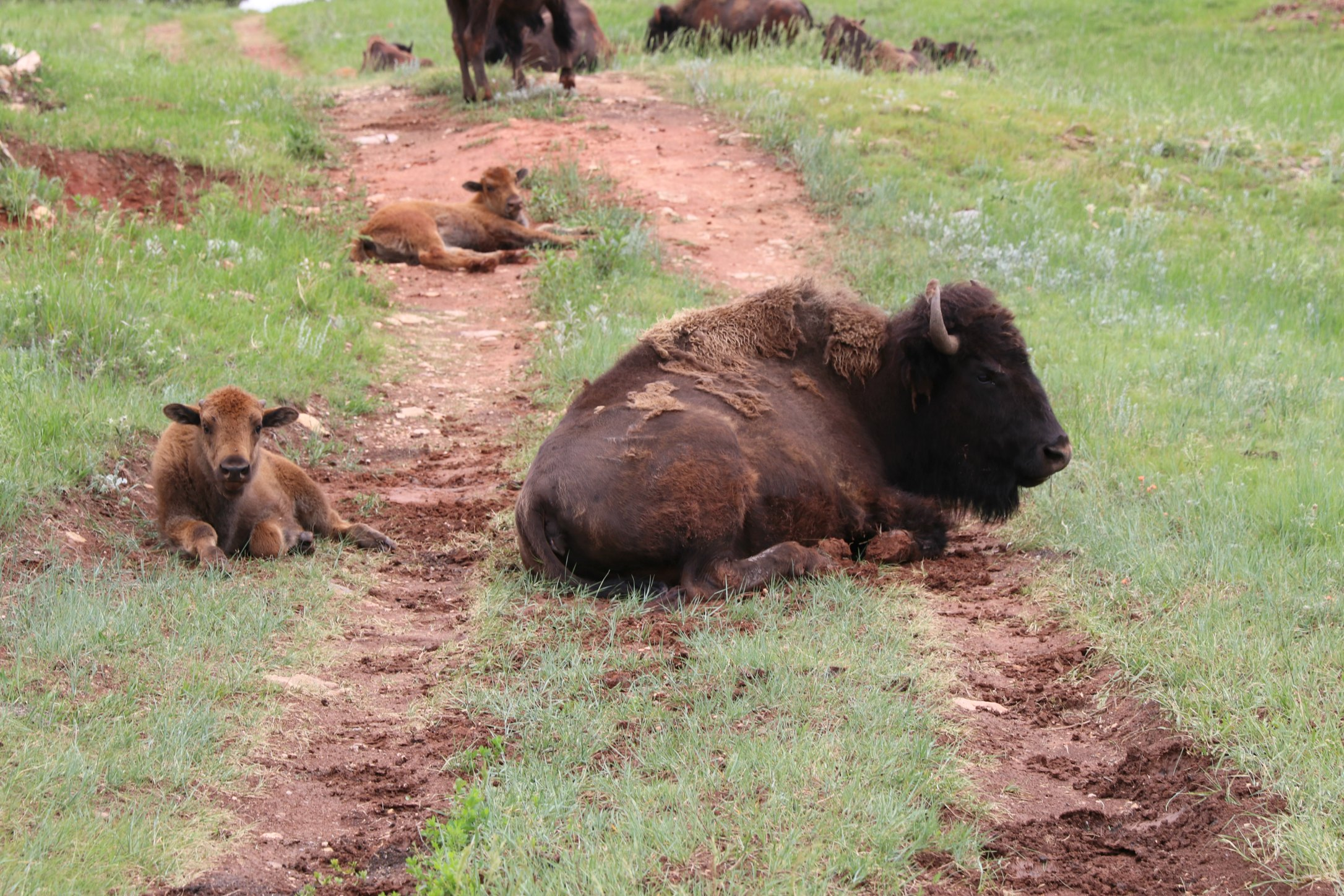 bison jeep tour at Custer State Park