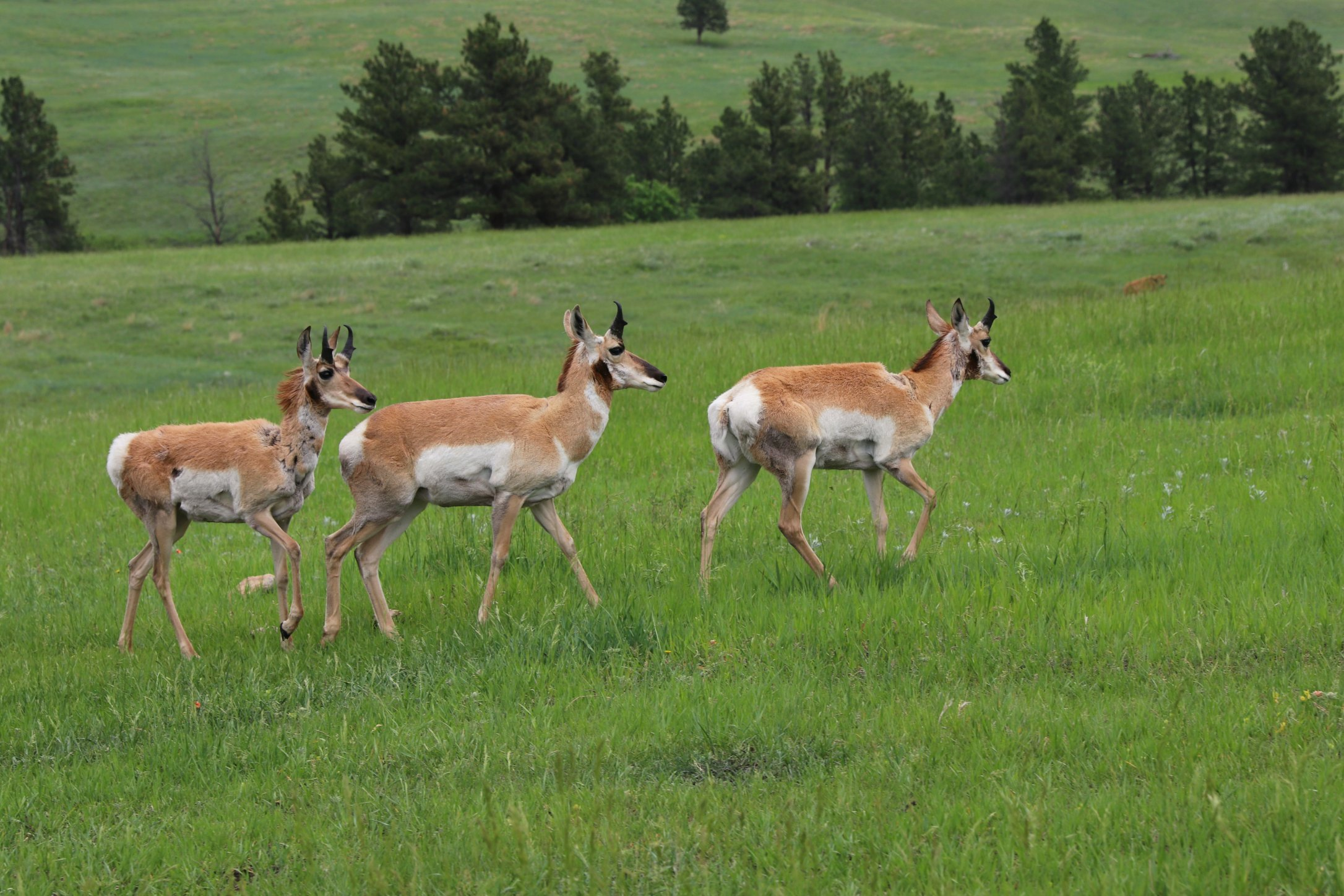 pronghorn antelope Custer State Park