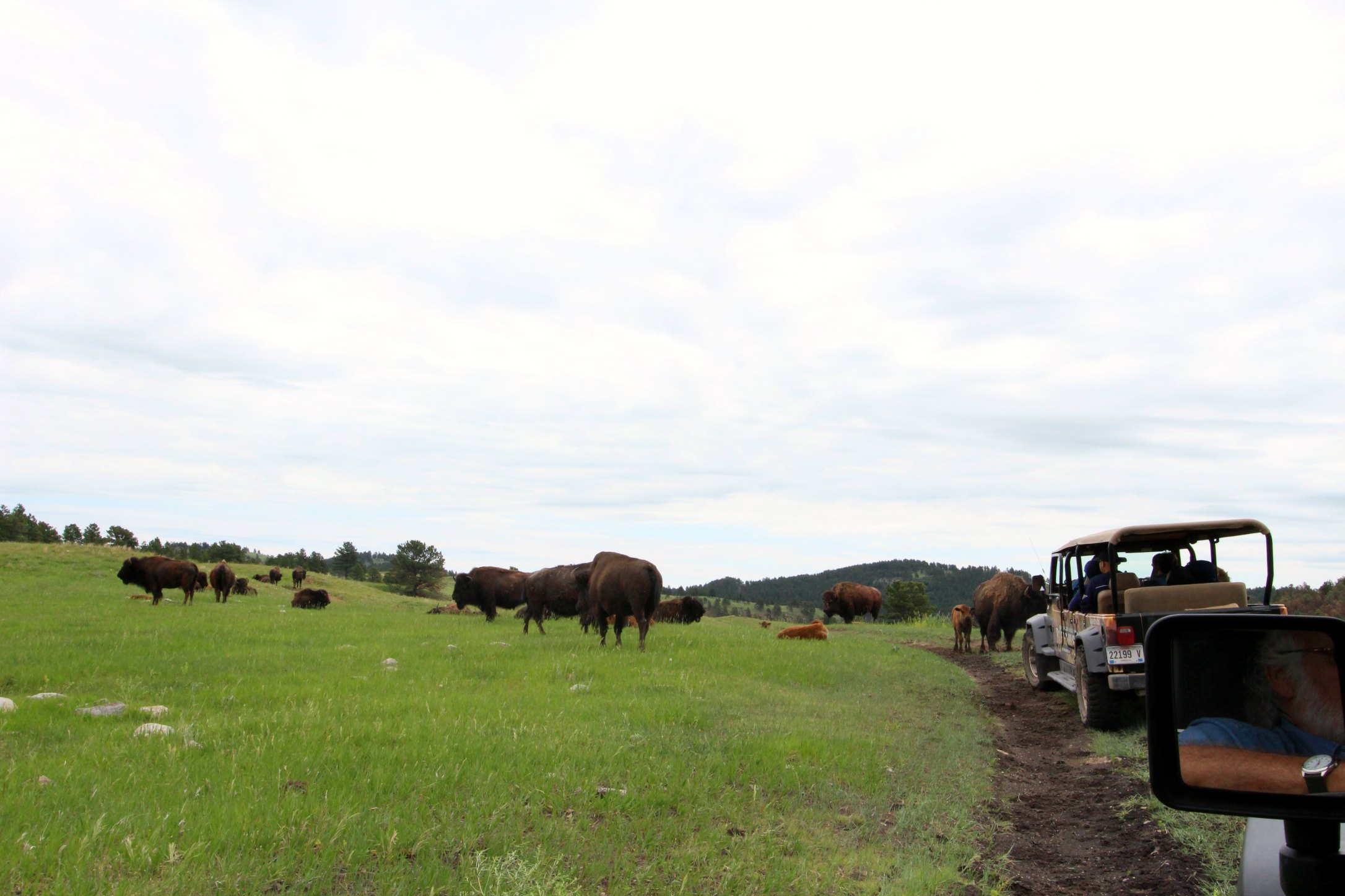 wild buffalo at Custer State Park